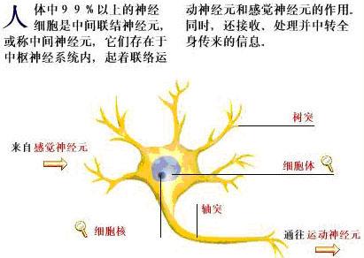 (神经元结构图)